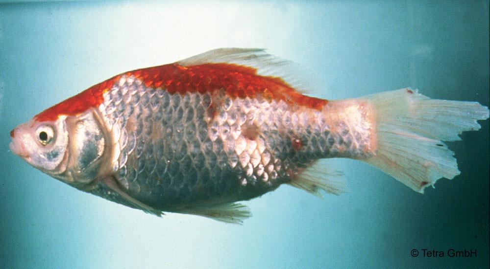 paraziti akvarijnich ryb)