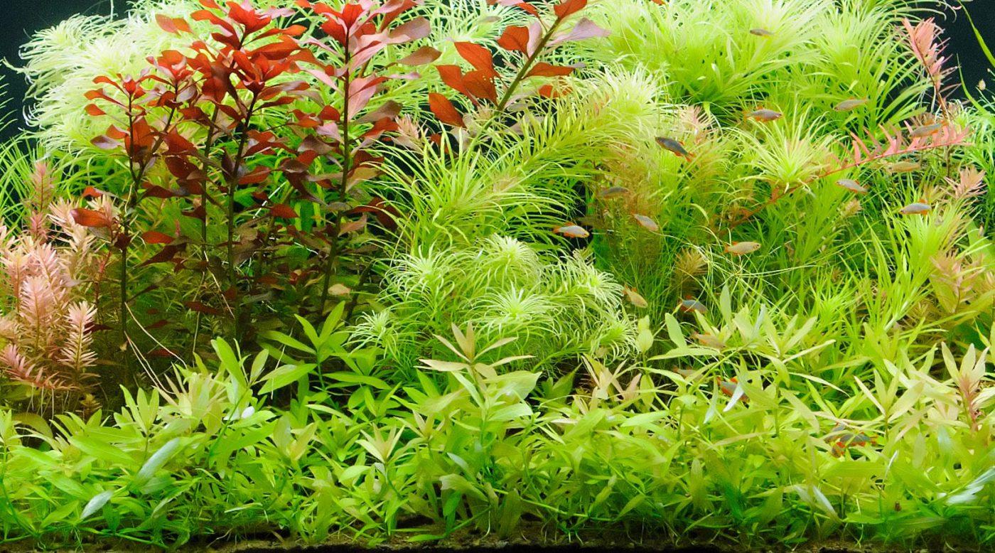 Aqurienpflanzen Aquarium Bepflanzung Wasswerte Sauerstoff Kohlenstoffdioxid Photosynthese