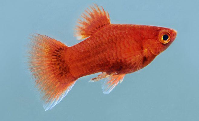 Korallenplaty-(Xiphophorus-maculatus) - Fische für Anfänger - Aquarium