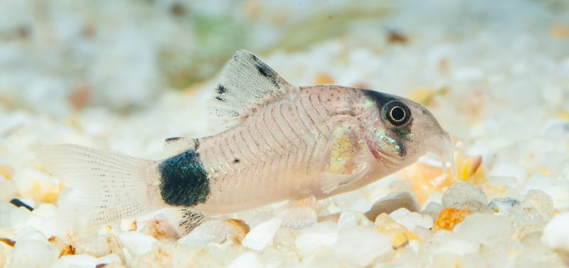 Panda-Panzerwels (Corydoras Panda) Fische für Anfänger