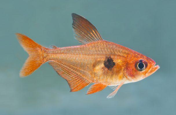 Roter-Phantomsalmler-(Hyphessobrycon-sweglesi)-Fische für Anfänger-Aquarium