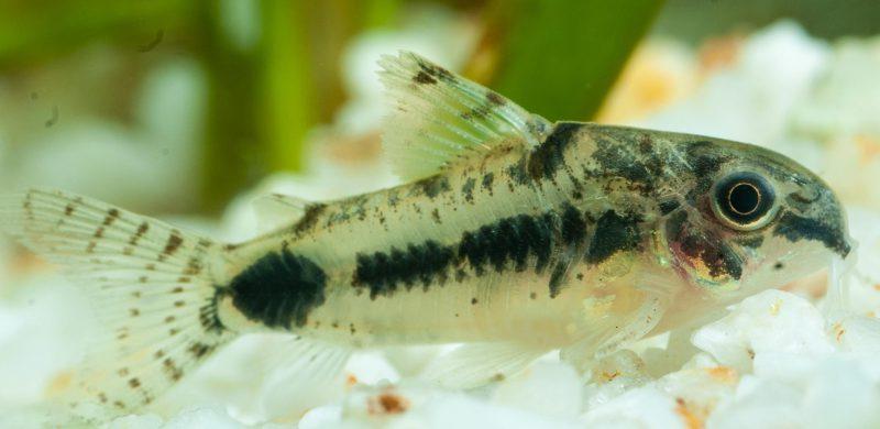 Schachbrett-Zwergpanzerwels (Corydoras Habrosus) - Fische für Anfänger - Aquarium