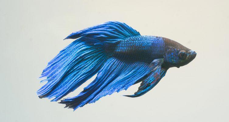 Siamesischer-Kampffisch-(Betta-splendens)-Fische für Anfänger-Aquarium
