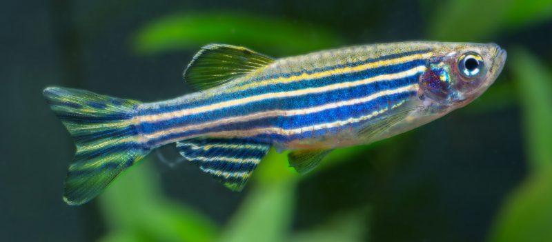 Zebrabaerbling-(Danio-rerio) - Fische für Anfänger - Aquarium