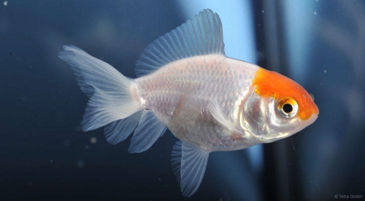 Goldfische - Sichtweise - Superhelden der Aqurienwelt