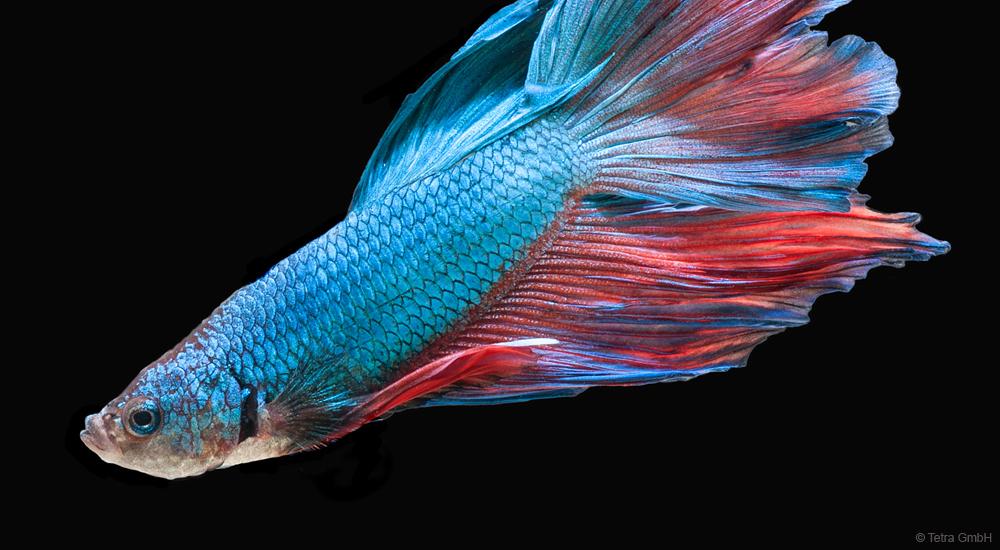 Siamesischer Kampffisch - Betta splendens - Labyrinthorgan - Sauerstoff - Superhelden der Aquarienwelt