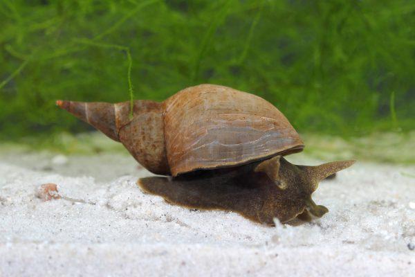 Spitzhornschnecke (Lymnaea stagnalis) - Schnecken im Aquarium