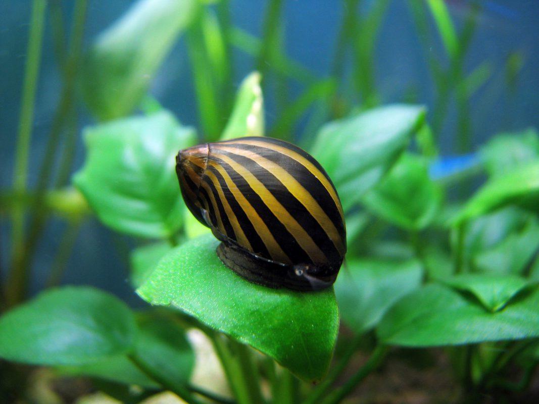 Zebra-Rennschnecke (Neritina natalensis) - Schnecken im Aquarium