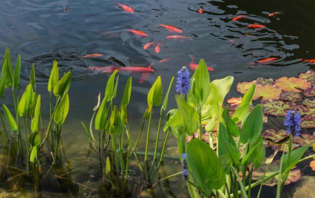 Gartenteich tetra aquaristik blog for Japanische teichfische
