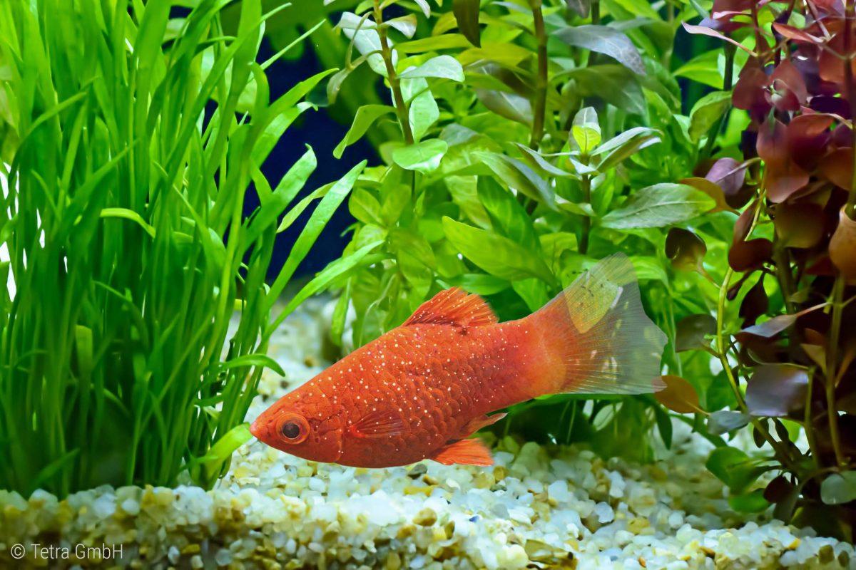 Fischkrankheit