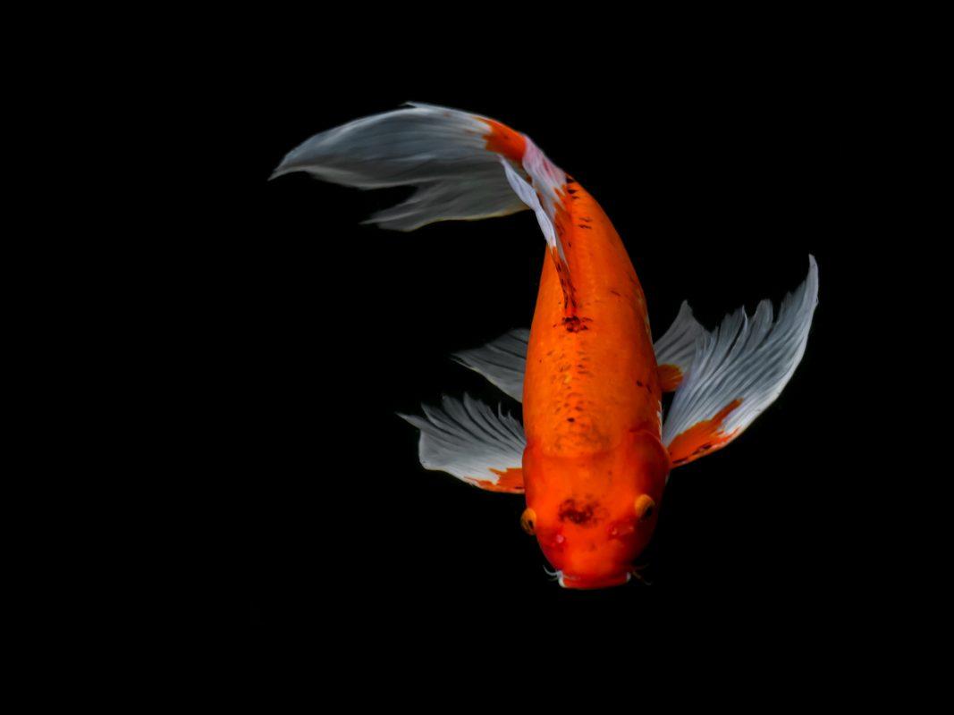 Causes of disease in pond fish