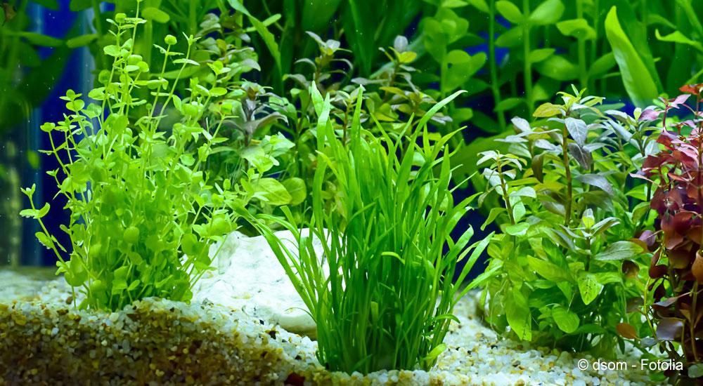 Popular aquarium plants | Tetra Advanced Fishkeeper Blog