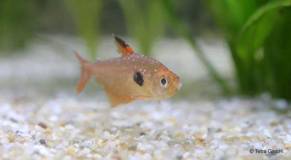 parazitákkal fertőzött halak
