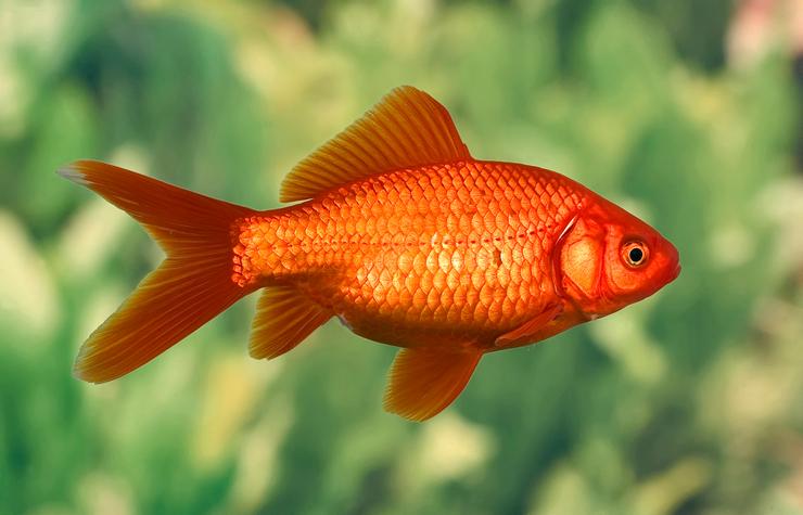 другое имя рыбы барбус 4 буквы