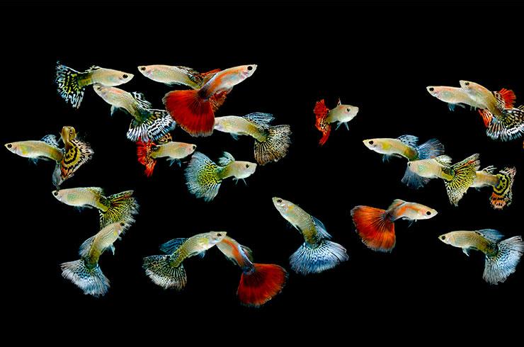 Цветовые вариации гуппи