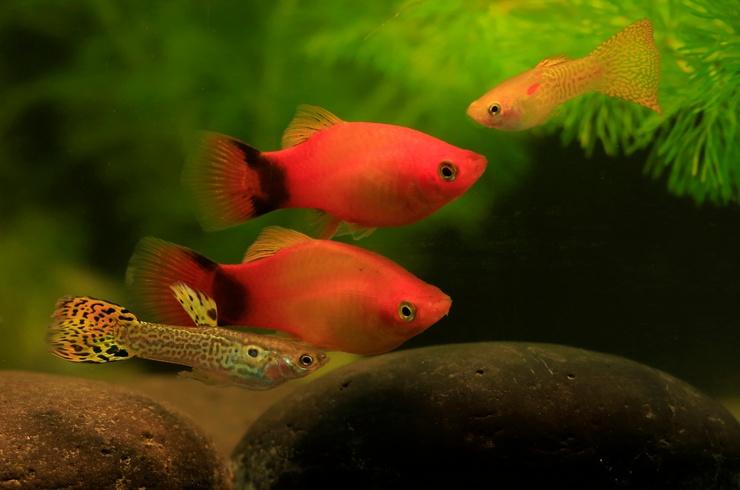 Гуппи и пецилии в общем аквариуме