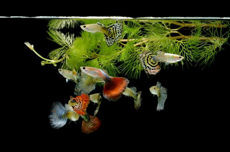 Гуппи в аквариуме с роголистником