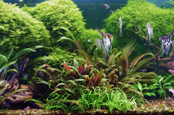 Криптокорина в оформлении аквариумов-травников