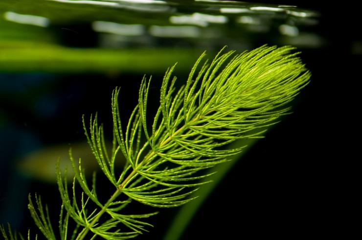 Листья роголистника