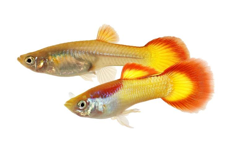 Самец и самка гуппи
