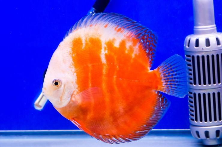 Дискус в аквариуме без растений и декораций