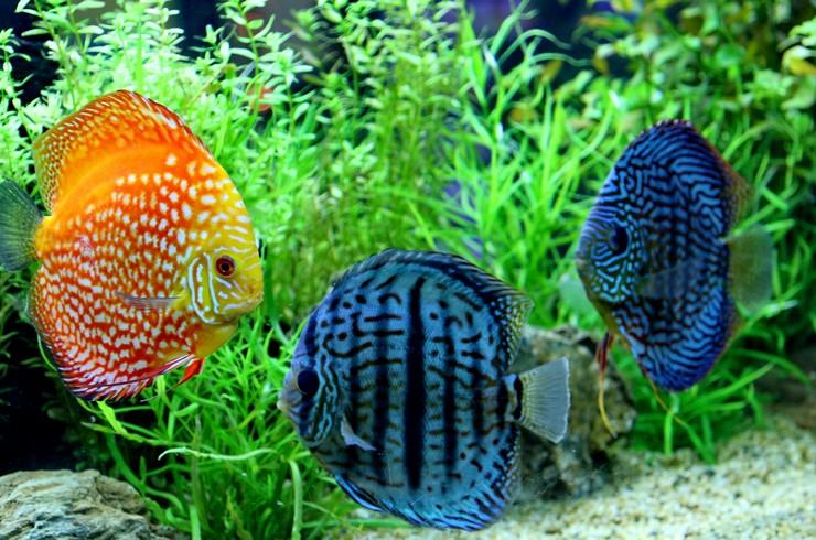Дискусы в аквариуме с живыми растениями