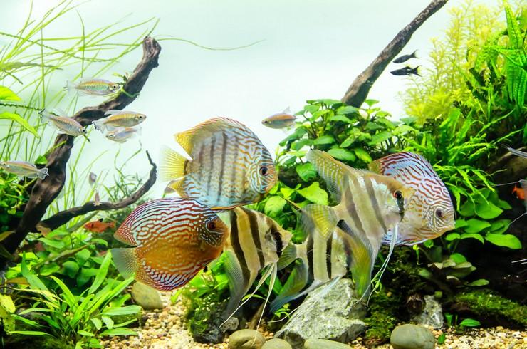 Дискусы в общем аквариуме