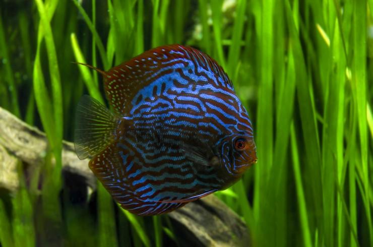 Голубой дискус (Symphysodon aequifasciatus)»