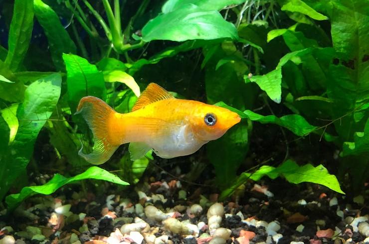Моллинезия в аквариуме с живыми растениями