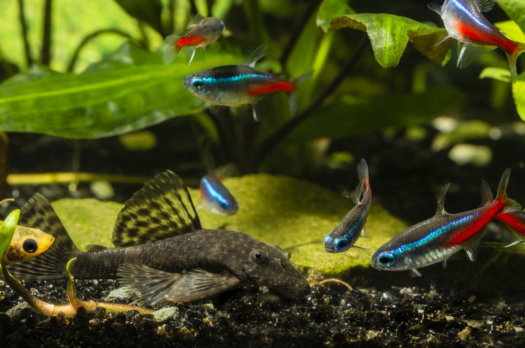 Неоны в общем аквариуме с пецилиями и анциструсом