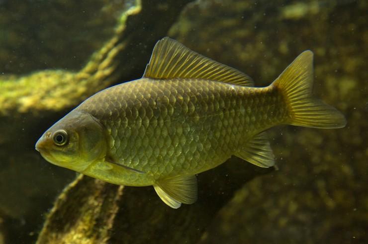 Серебрянный карась (Carassius gibelio). Родоначальник всех золотых рыбок