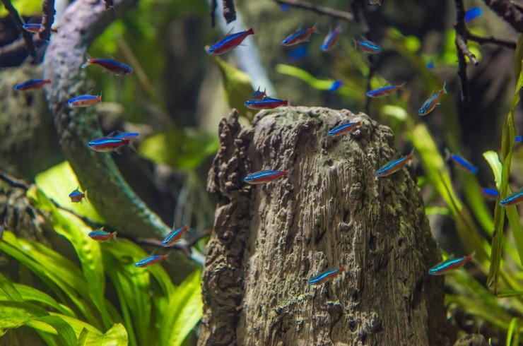 Стайка неонов в аквариуме