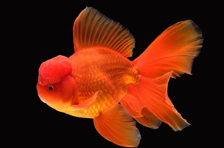 Золотая рыбка оранда
