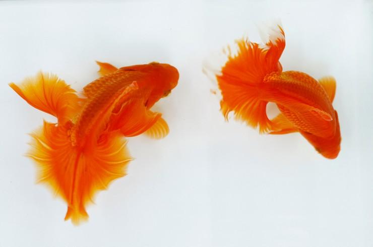 Золотая рыбка тосакин