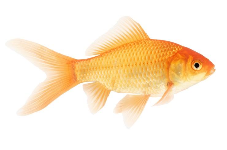Золотая рыбка. Внешний вид