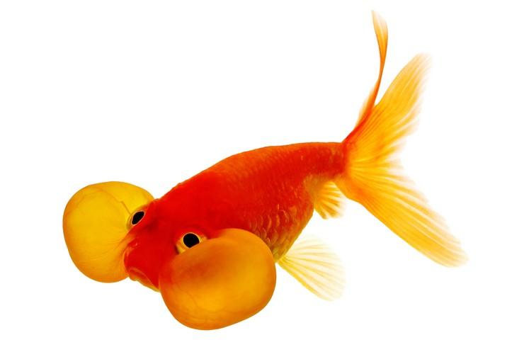 Золотая рыбка Водяные глазки