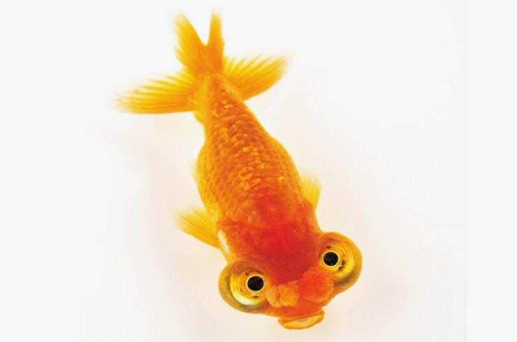 Золотая рыбка Звездочет Помпон