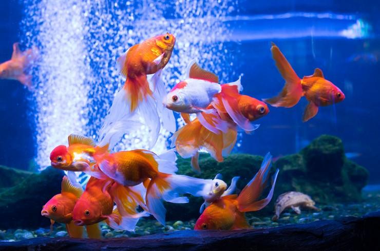 Золотые рыбки в видовом аквариуме