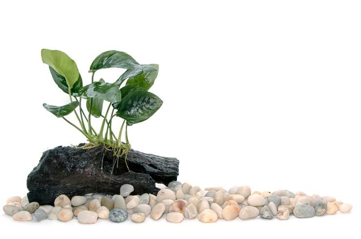 Анубиас – популярное аквариумное растение