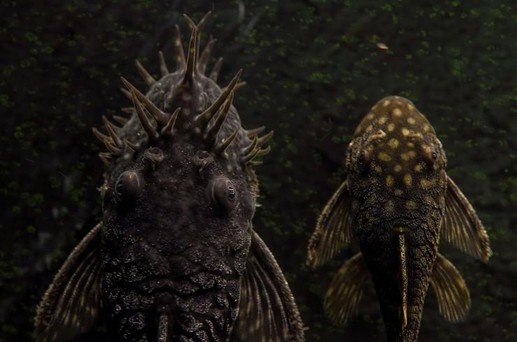 Самец и самка анциструса