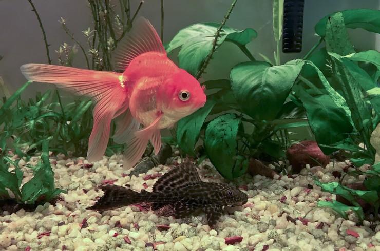 Жесткие листья анубиасов не повреждаются рыбками-любителями аквариумной зелени