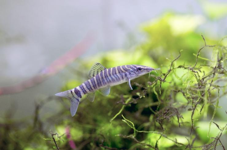 Боция тигровая (Syncrossus hymenophysa)