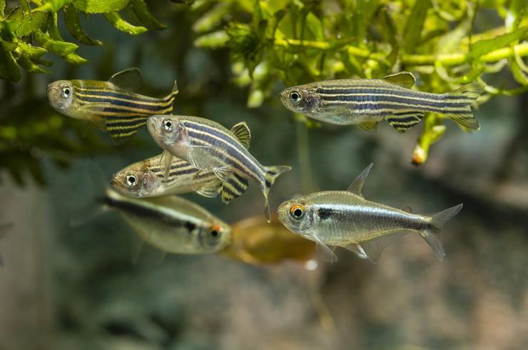 Данио рерио в общем аквариуме