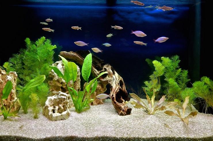 Эхинодорусы часто выступают центром аквариумной композиции