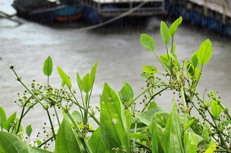 Новые растения эхинодоруса развиваются на цветоносах.