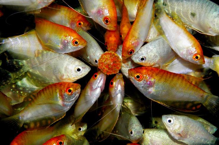 Рыбки гурами не прочь перекусить вкусным лакомством
