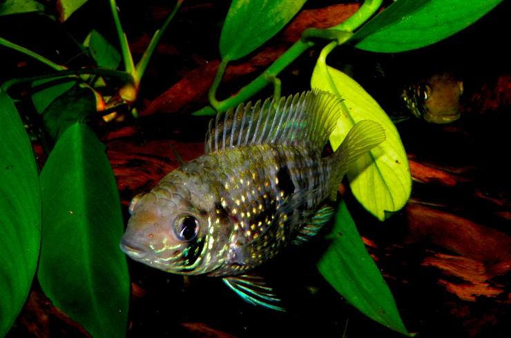 Акара в аквариуме с живыми растениями