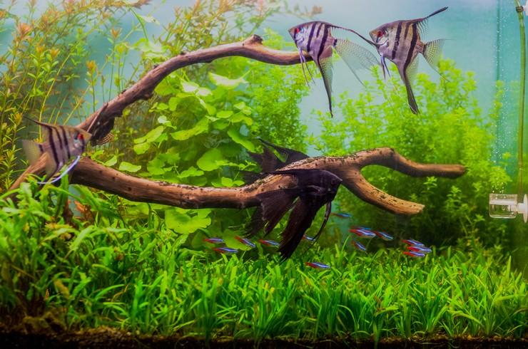 Скалярии в аквариуме с живыми растениями