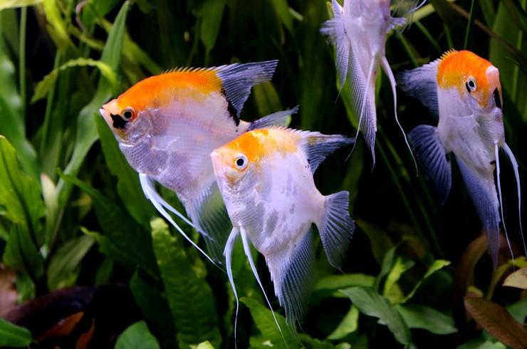 Стайка скалярий в аквариуме
