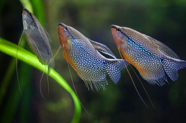 Стайка жемчужных гурами в аквариуме